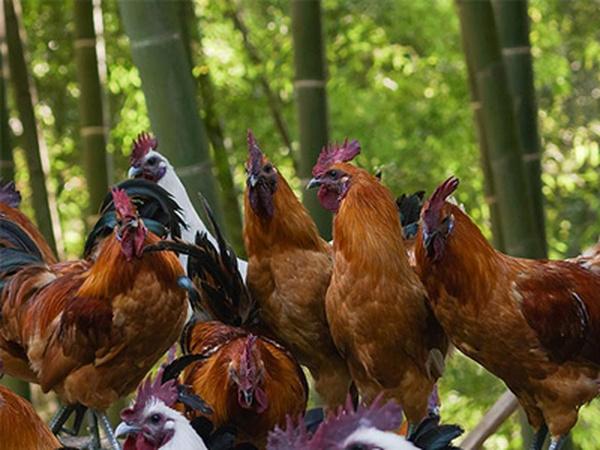 湖南省农产品地理标志—洪江雪峰乌骨鸡