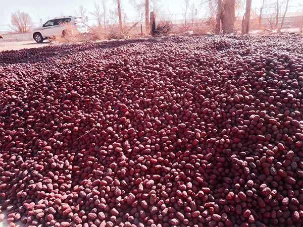 新疆若羌红枣基地