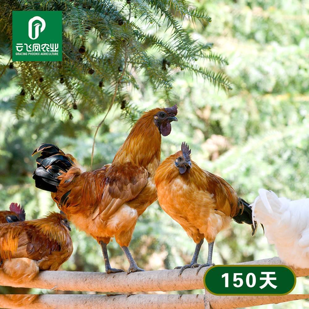 正宗洪江雪峰乌骨鸡新鲜现杀土鸡农家散养公鸡鸡仔走地鸡150天