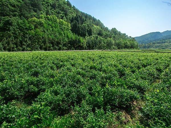 富硒莓茶基地
