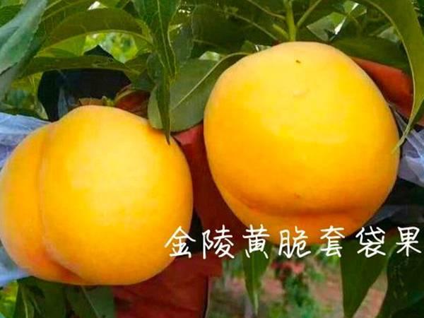 金秋黄金蜜桃