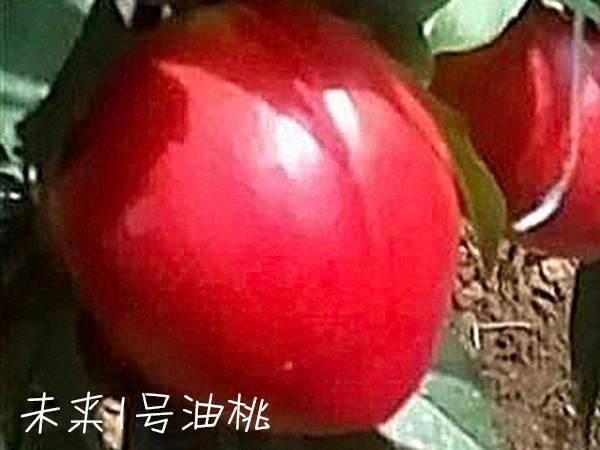 未来1号油桃