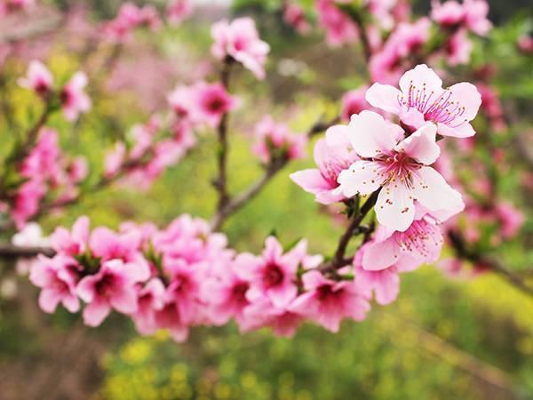 桃树秋施基肥的重要作用!