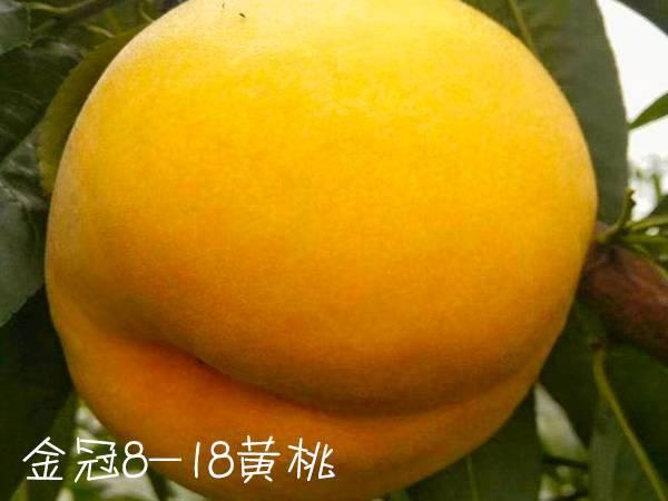 金冠8-18黄桃