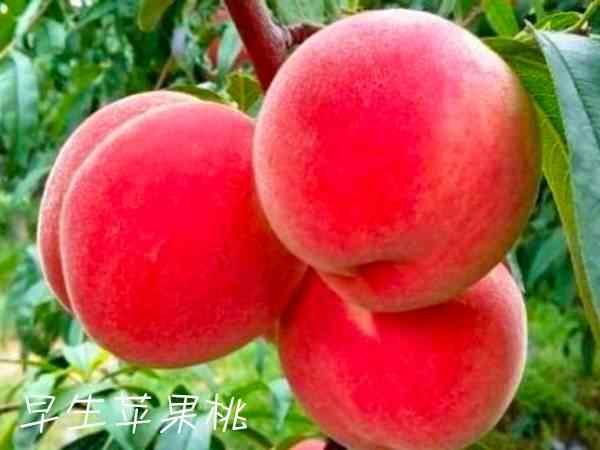 早生苹果桃