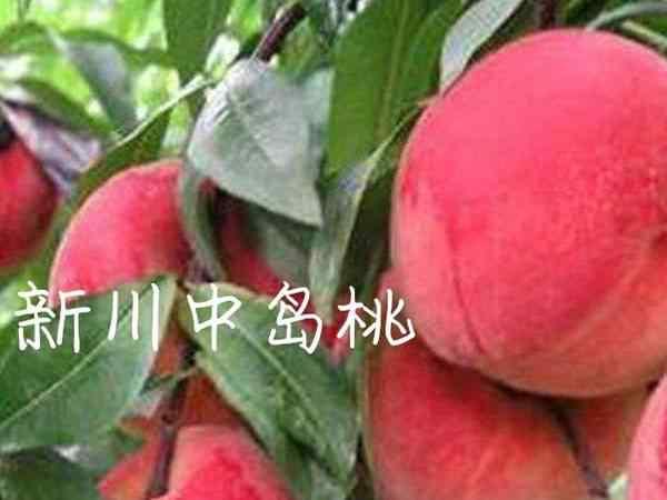 新川中岛桃