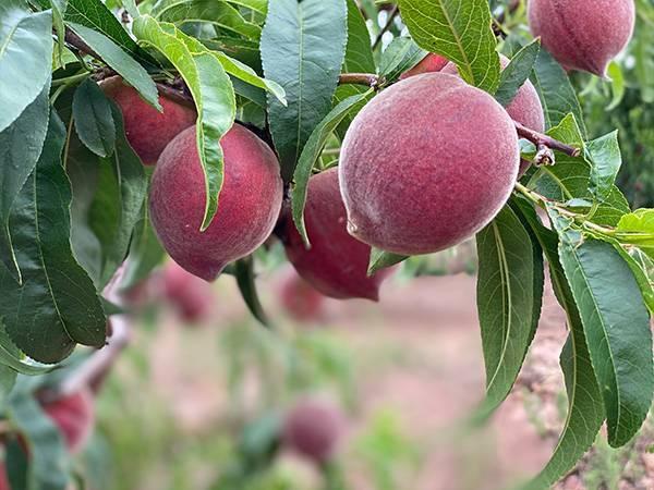 桃树主要病害