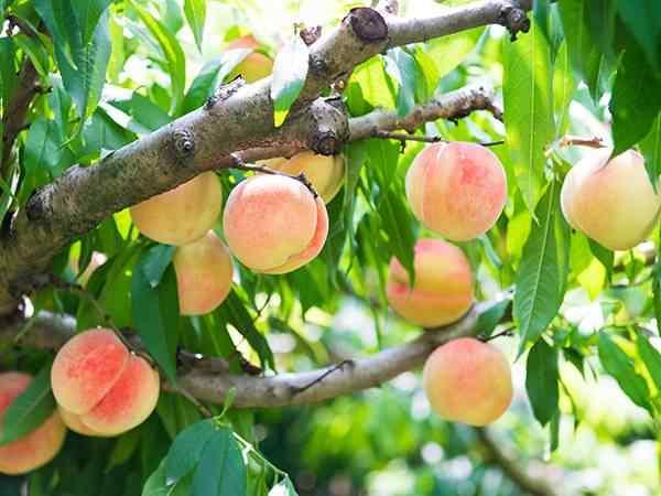 【南方地区】桃树苗栽植的时间及方法