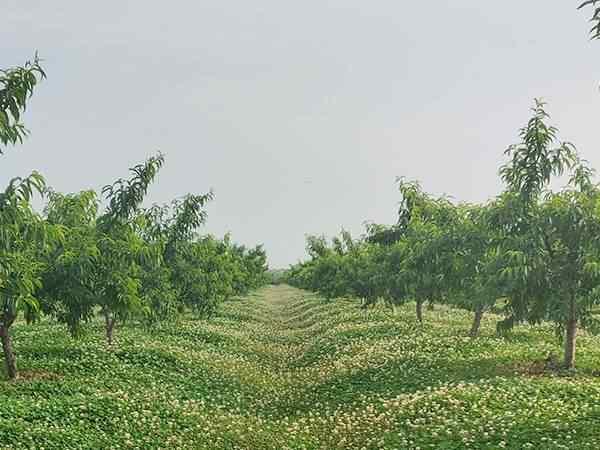 桃树整形修剪的原则、依据及方法