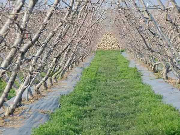 【南方桃树】的冬季管理