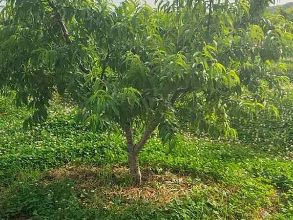 【南方桃树】流胶病的解决方案