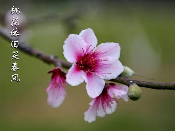 【南方桃树】谢花后重要的三遍药!