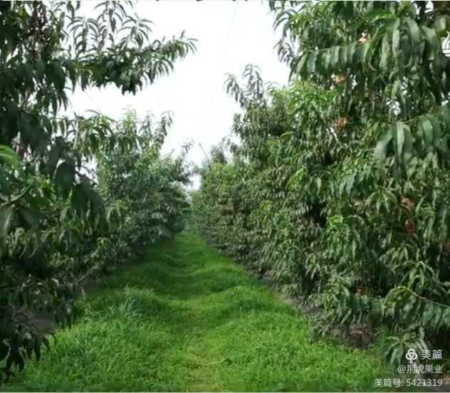 桃树秋施基肥的重要作用!453