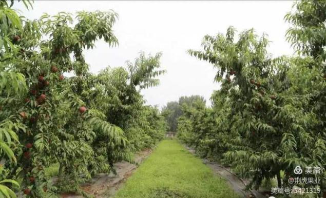 桃树秋施基肥的重要作用!85