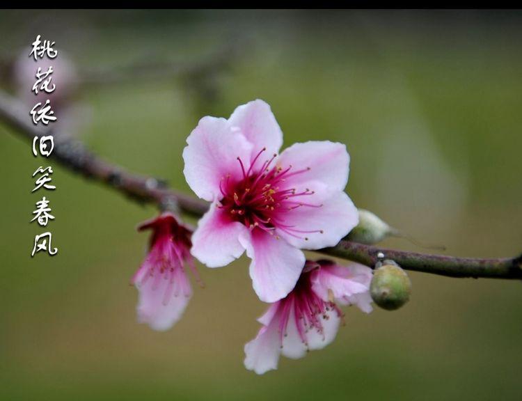 【南方桃树】谢花后重要的三遍药!128