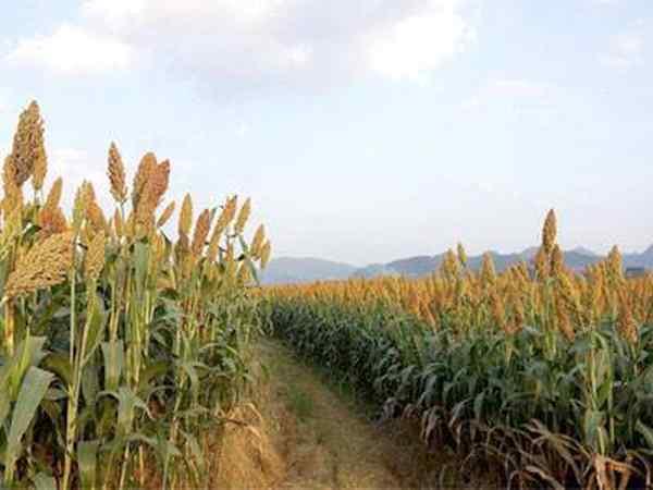 湖南本业助力高粱基地虫害一体化绿色防控