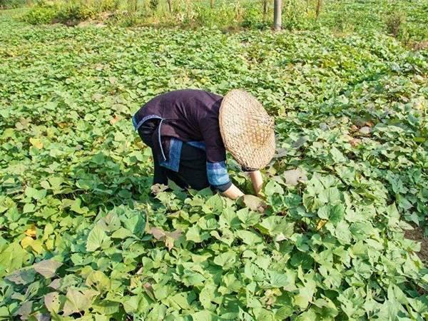 红薯叶——蔬菜皇后