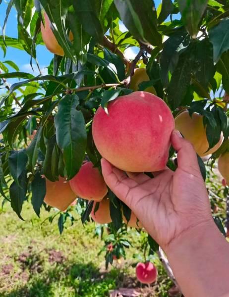 南方桃树的发展方向