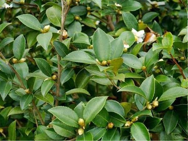 油茶成林管护