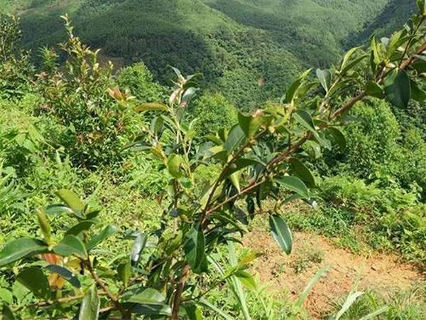 如何购买到质量好价格实惠的油茶苗呢?