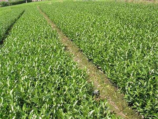油茶苗种植技术