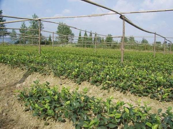 权威发布:国家林业局关于印发《全国油茶主推品种目录》的通知