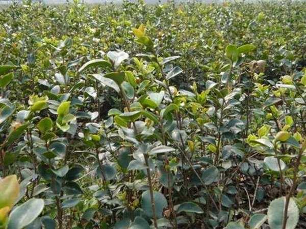 油茶病虫害防治