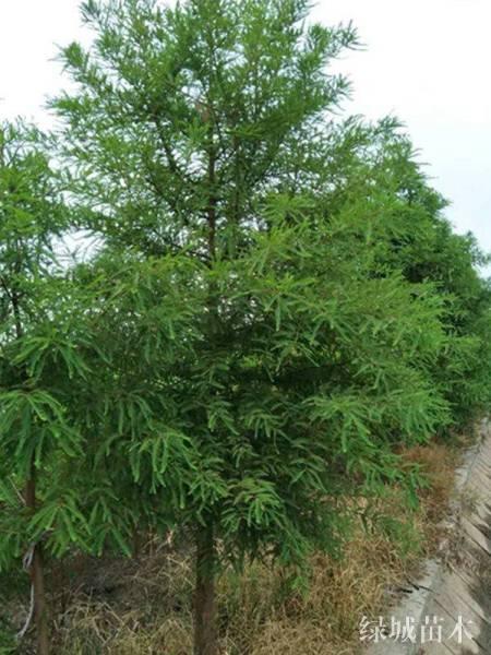 中山杉育苗造林技术及实施要点