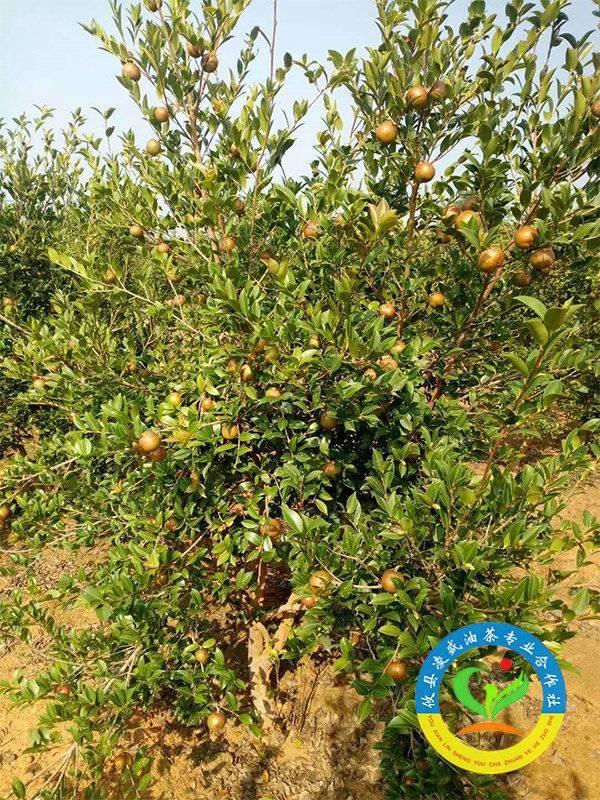 油茶树挂果