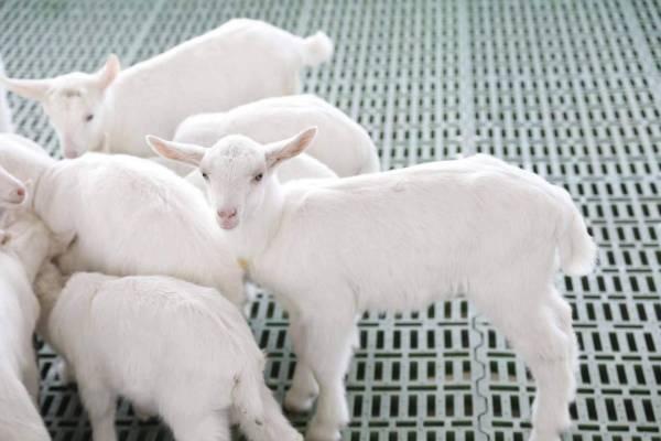 莎能奶山羊