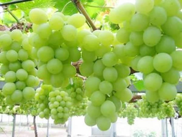来五福山庄果园摘葡萄咯