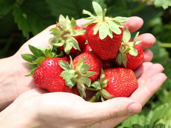 想吃奶油味,巧克力味的草莓吗
